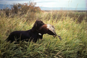 dog_with_cock_pheasant